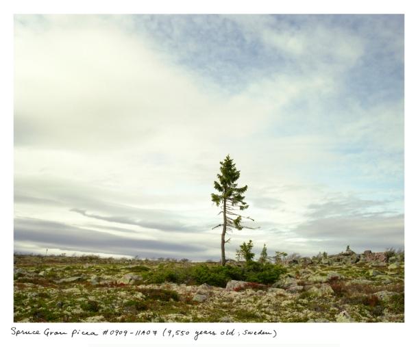 spruce_0910_11a07